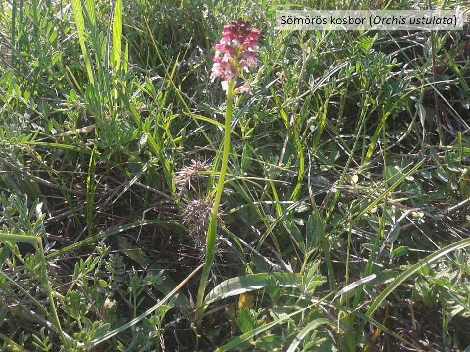 Sömörös kosbor (Orchis ustulata)