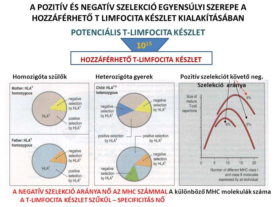 A POZITÍV ÉS NEGATÍV SZELEKCIÓ EGYENSÚLYI SZEREPE A HOZZÁFÉRHETŐ T LIMFOCITA KÉSZLET KIALAKÍTÁSÁBAN Homozigóta szülők Heterozigóta gyerek A különböző MHC molekulák száma Pozitív szelekciót követő neg.