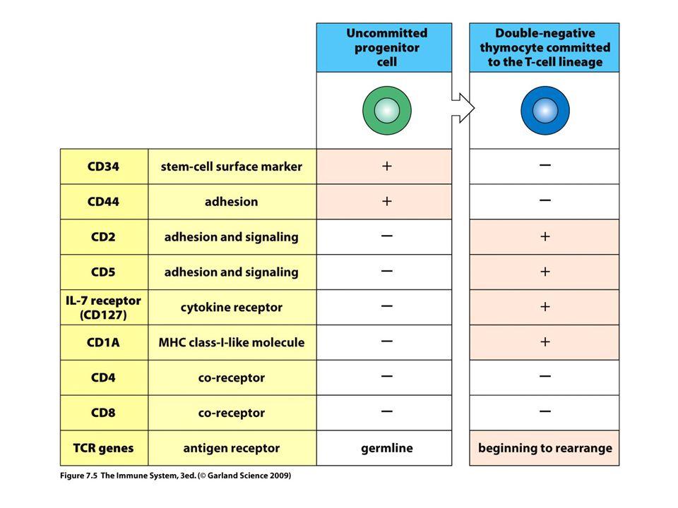 1.Az elsődleges T sejt készlet számottevő része MHC-specifikus (V gének) 1-2% egy allotípusra 2.A T sejt készlet fókuszálása a saját MHC felismerésre) 3.A felesleges klónok eltávolítása (+ szelekció) 4.Az önveszélyes klónok eltávolítása (- szelekció) 5.KÖZPONTI TOLERANCIA TCR repertoire-t használják 6.CD4+ and CD8+ T sejtek ugyanazt a TCR repertoire-t használják 7.Egyénre szabott optimalizált T sejt készlet a periférián 8.A CD4 és a CD8 részt vesz a pozitív szelekcióban αβTCR CD4+ CD8+ A T LIMFOCITÁK SZELEKCIÓJA A TÍMUSZBAN Tok alatti terület Kéreg Kéreg/velő határ IL-7 függő osztódás β+preTα CD4-CD8- DN CD4+CD8+ DP Velő TCRαβ TCR- sMHC+sP sMHC+iP iMHC+iP  szelekció – szelekció  – AICD nincs  PERIFÉRIÁS TOLERANCIA AICD – aktiváció indukált apoptózis