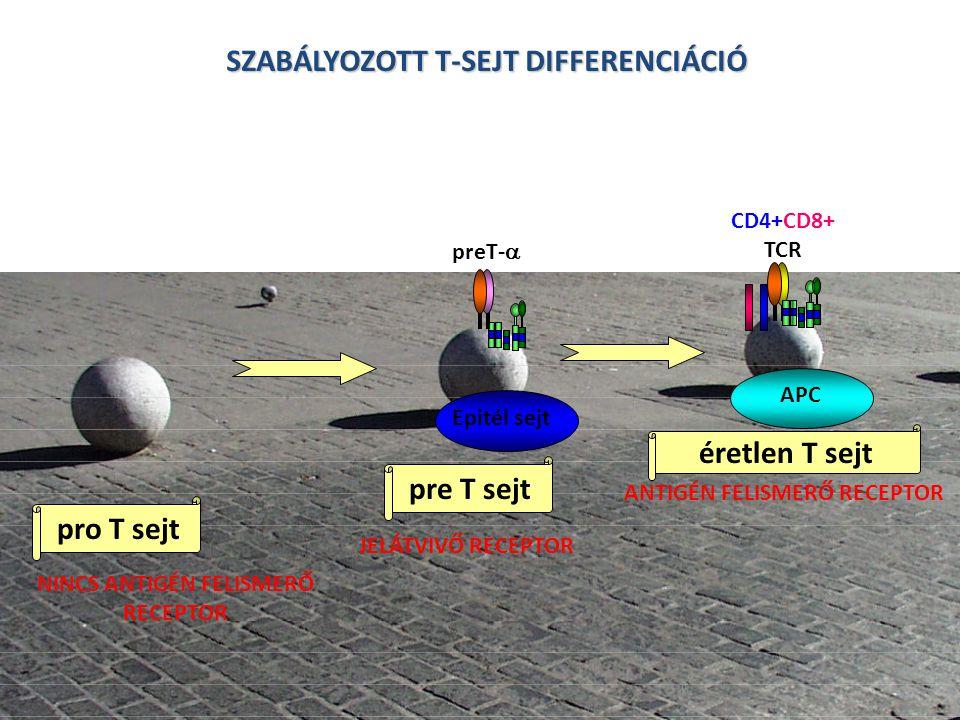 SZABÁLYOZOTT T-SEJT DIFFERENCIÁCIÓ a a pre T sejt pro T sejt éretlen T sejt NINCS ANTIGÉN FELISMERŐ RECEPTOR JELÁTVIVŐ RECEPTOR ANTIGÉN FELISMERŐ RECEPTOR preT-  CD4+CD8+ TCR Epitél sejt APC