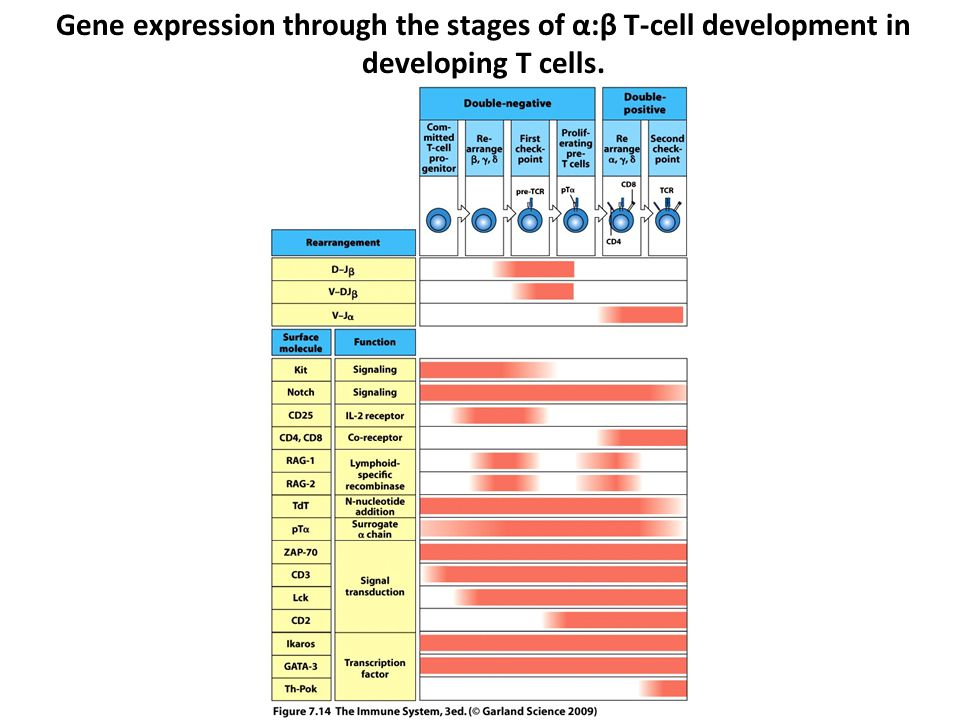 Gene expression through the stages of α:β T-cell development in developing T cells.