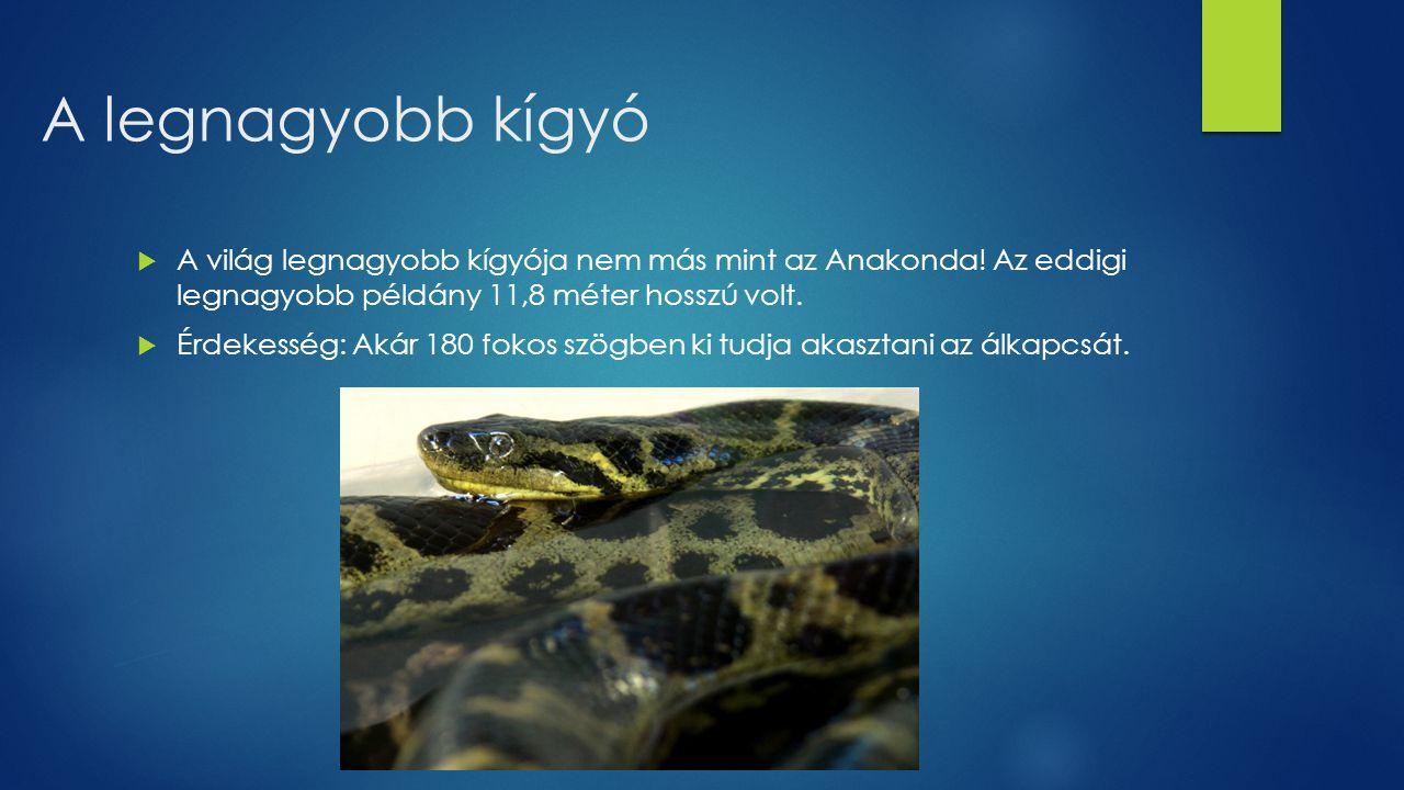 A legnagyobb kígyó  A világ legnagyobb kígyója nem más mint az Anakonda! Az eddigi legnagyobb példány 11,8 méter hosszú volt.  Érdekesség: Akár 180