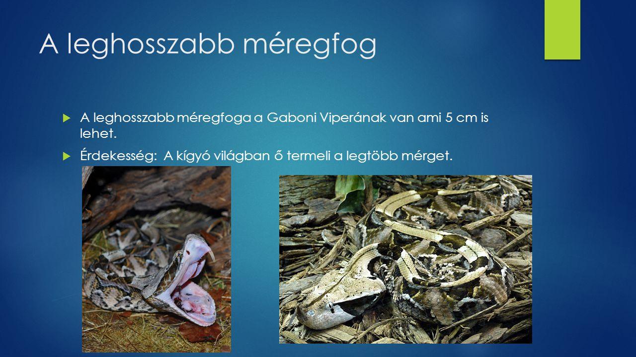 A leghosszabb méregfog  A leghosszabb méregfoga a Gaboni Viperának van ami 5 cm is lehet.  Érdekesség: A kígyó világban ő termeli a legtöbb mérget.