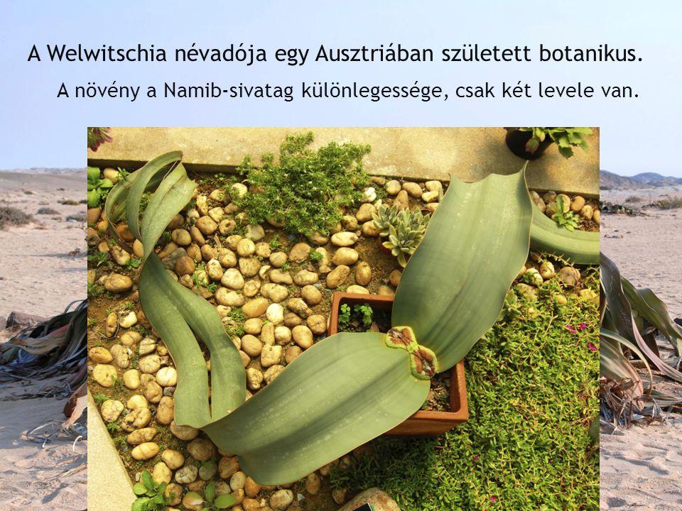 A Welwitschia névadója egy Ausztriában született botanikus. A növény a Namib-sivatag különlegessége, csak két levele van.