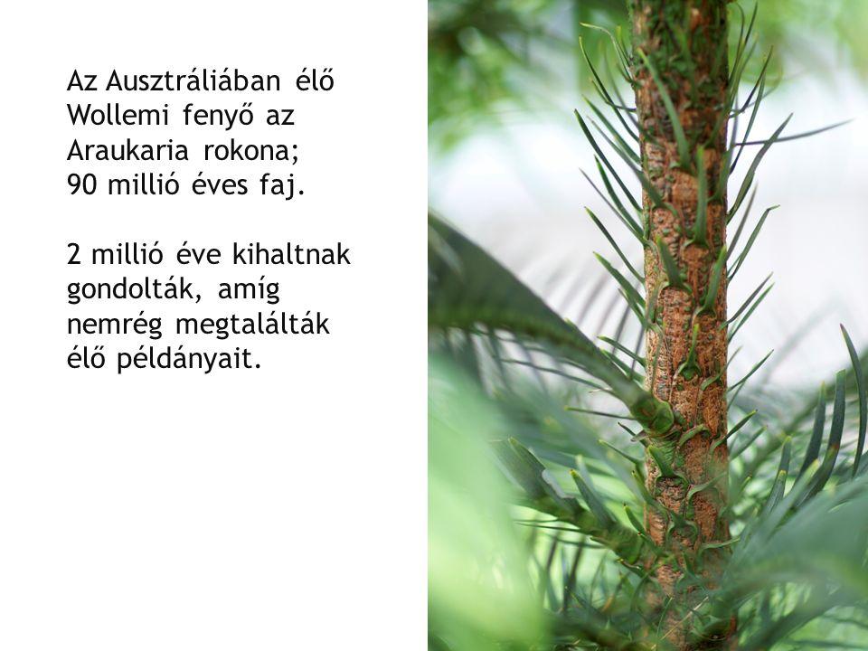 Az Ausztráliában élő Wollemi fenyő az Araukaria rokona; 90 millió éves faj. 2 millió éve kihaltnak gondolták, amíg nemrég megtalálták élő példányait.
