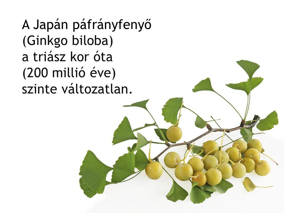 A Japán páfrányfenyő (Ginkgo biloba) a triász kor óta (200 millió éve) szinte változatlan.