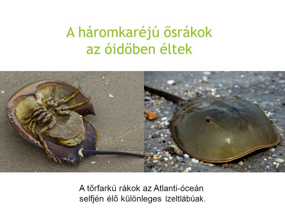 A háromkaréjú ősrákok az óidőben éltek A tőrfarkú rákok az Atlanti-óceán selfjén élő különleges ízeltlábúak.