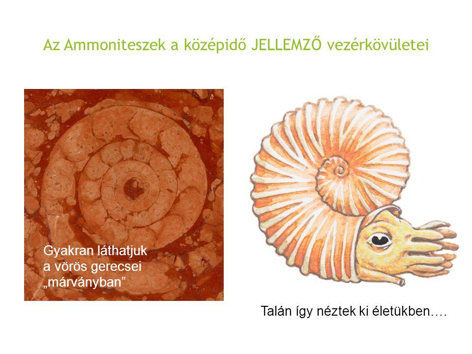 """Az Ammoniteszek a középidő JELLEMZŐ vezérkövületei Talán így néztek ki életükben…. Gyakran láthatjuk a vörös gerecsei """"márványban"""""""