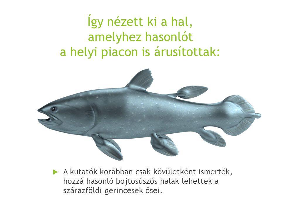 Így nézett ki a hal, amelyhez hasonlót a helyi piacon is árusítottak:  A kutatók korábban csak kövületként ismerték, hozzá hasonló bojtosúszós halak