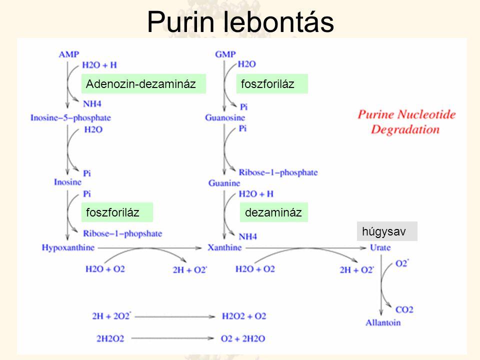 Purin lebontás Adenozin-dezamináz dezaminázfoszforiláz húgysav