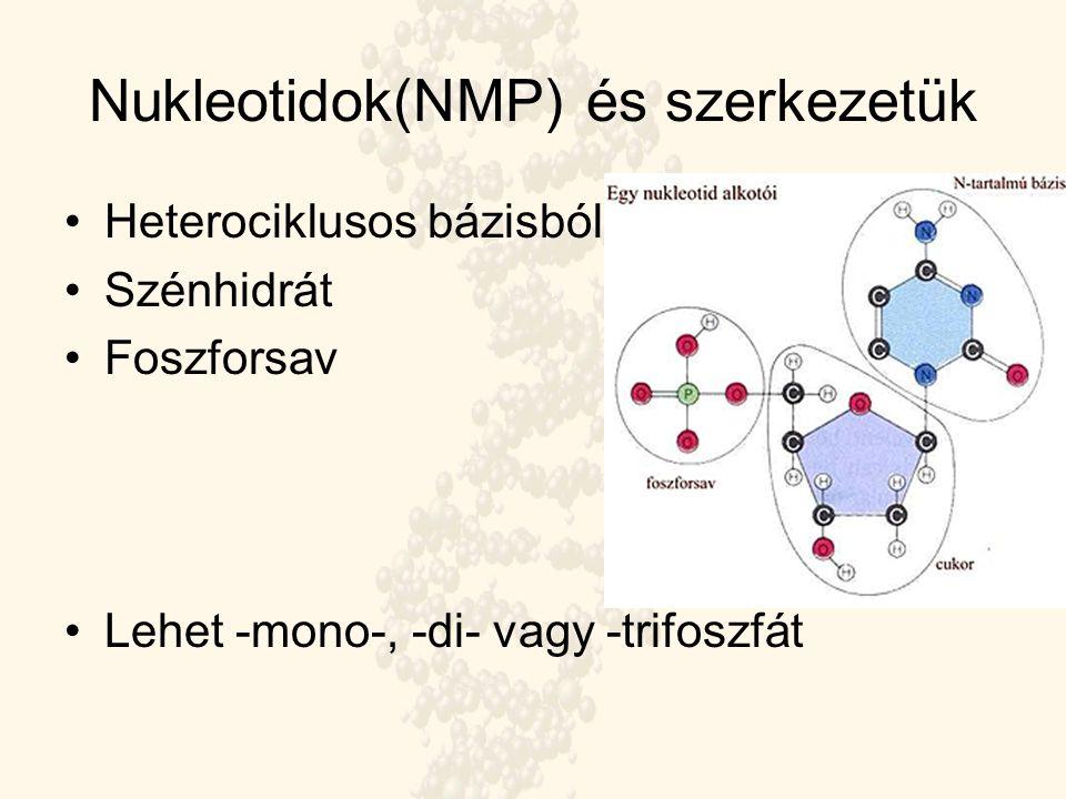 Nukleotidok(NMP) és szerkezetük Heterociklusos bázisból Szénhidrát Foszforsav Lehet -mono-, -di- vagy -trifoszfát
