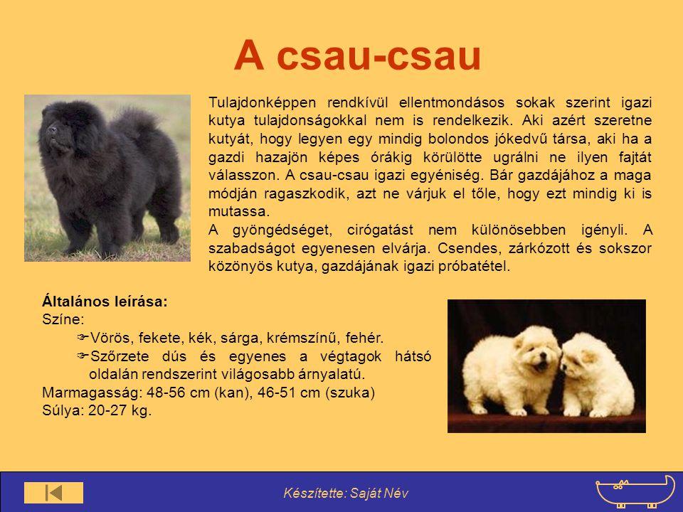 Készítette: Saját Név A csau-csau Tulajdonképpen rendkívül ellentmondásos sokak szerint igazi kutya tulajdonságokkal nem is rendelkezik. Aki azért sze
