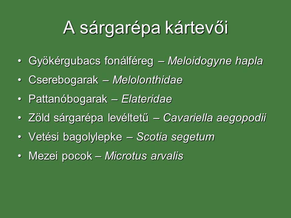 A sárgarépa kártevői Gyökérgubacs fonálféreg – Meloidogyne haplaGyökérgubacs fonálféreg – Meloidogyne hapla Cserebogarak – MelolonthidaeCserebogarak –