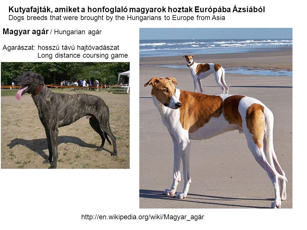 Magyar szürkemarha / Hungarian gray cattle A honfoglaló magyarokkal együtt érkezett Ázsiaból a 9.