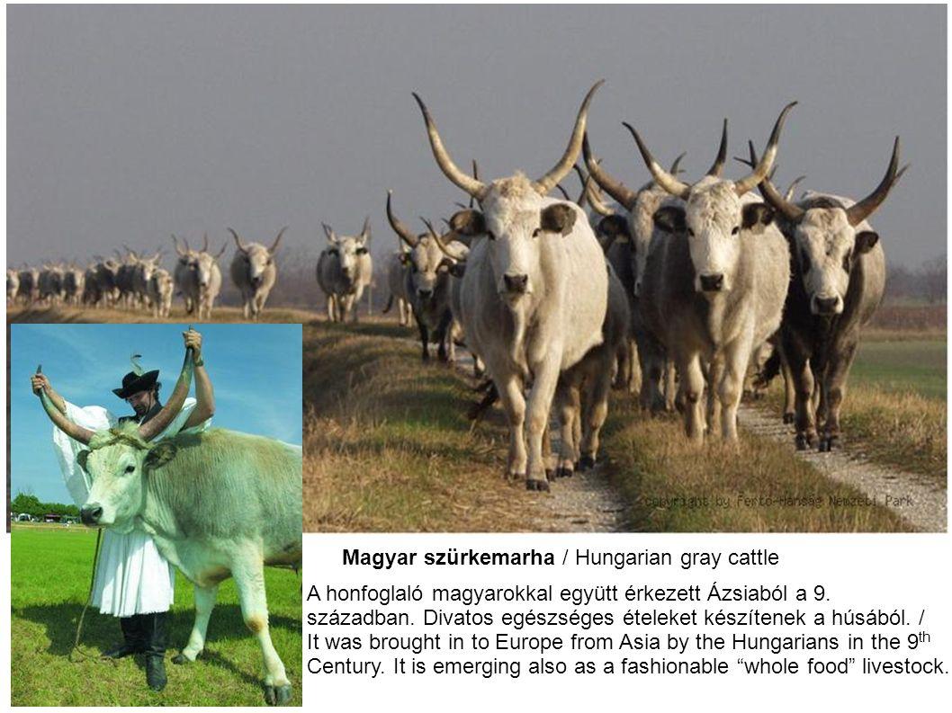 Magyar szürkemarha / Hungarian gray cattle A honfoglaló magyarokkal együtt érkezett Ázsiaból a 9. században. Divatos egészséges ételeket készítenek a