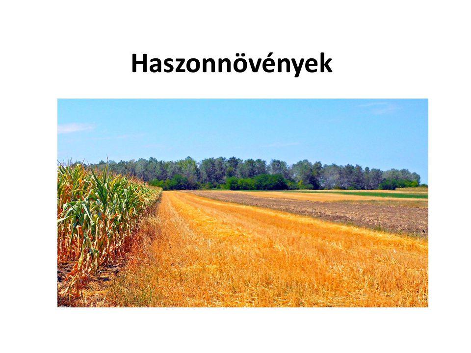 Búza  Őshazája Ázsia  7000 éve termesztik  Fontos gabonanövény, állati takarmány  Hagyományosan Péter-Pál napján kezdik aratni ( VI.