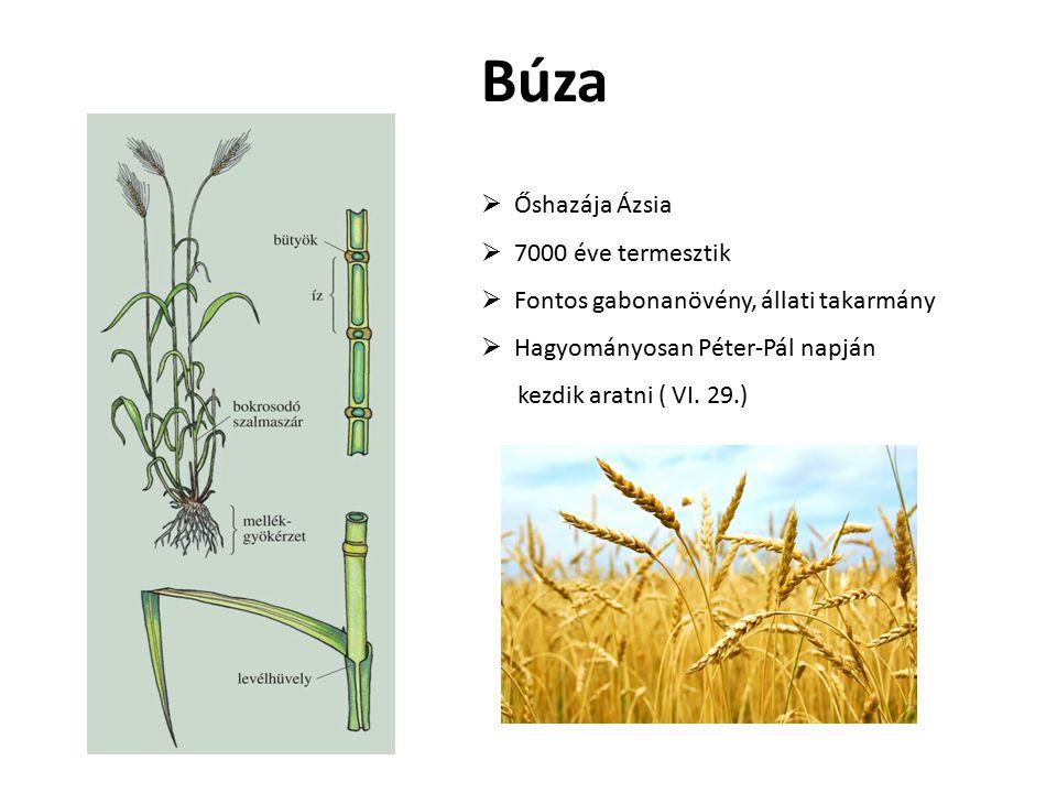 Búza  Őshazája Ázsia  7000 éve termesztik  Fontos gabonanövény, állati takarmány  Hagyományosan Péter-Pál napján kezdik aratni ( VI. 29.)