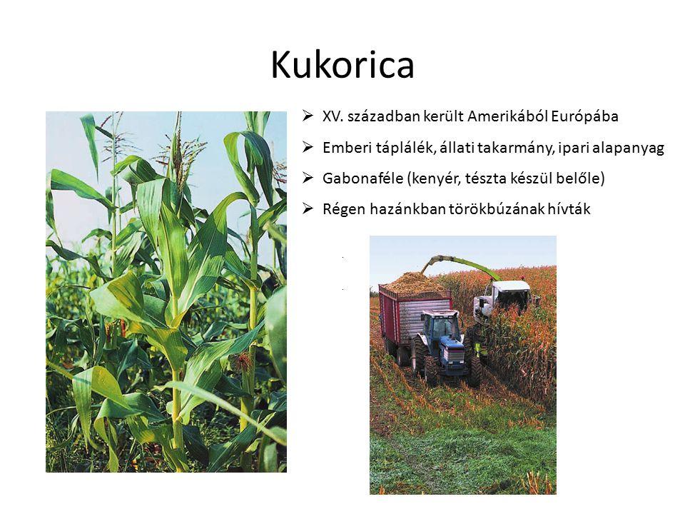 Kukorica  XV. században került Amerikából Európába  Emberi táplálék, állati takarmány, ipari alapanyag  Gabonaféle (kenyér, tészta készül belőle) 