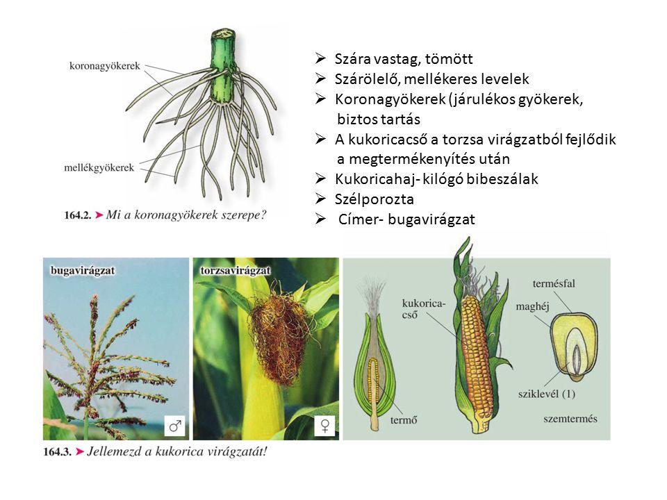  Szára vastag, tömött  Szárölelő, mellékeres levelek  Koronagyökerek (járulékos gyökerek, biztos tartás  A kukoricacső a torzsa virágzatból fejlőd