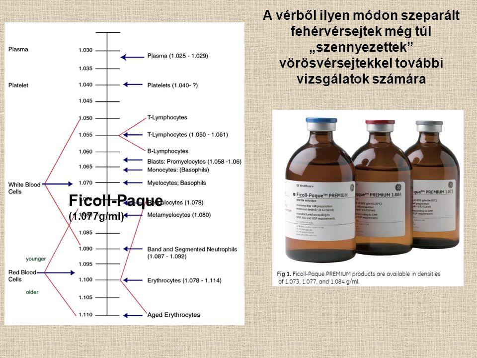 """A vérből ilyen módon szeparált fehérvérsejtek még túl """"szennyezettek"""" vörösvérsejtekkel további vizsgálatok számára Ficoll-Paque (1.077g/ml)"""
