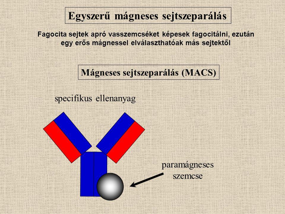 Mágneses sejtszeparálás (MACS) paramágneses szemcse specifikus ellenanyag Egyszerű mágneses sejtszeparálás Fagocita sejtek apró vasszemcséket képesek