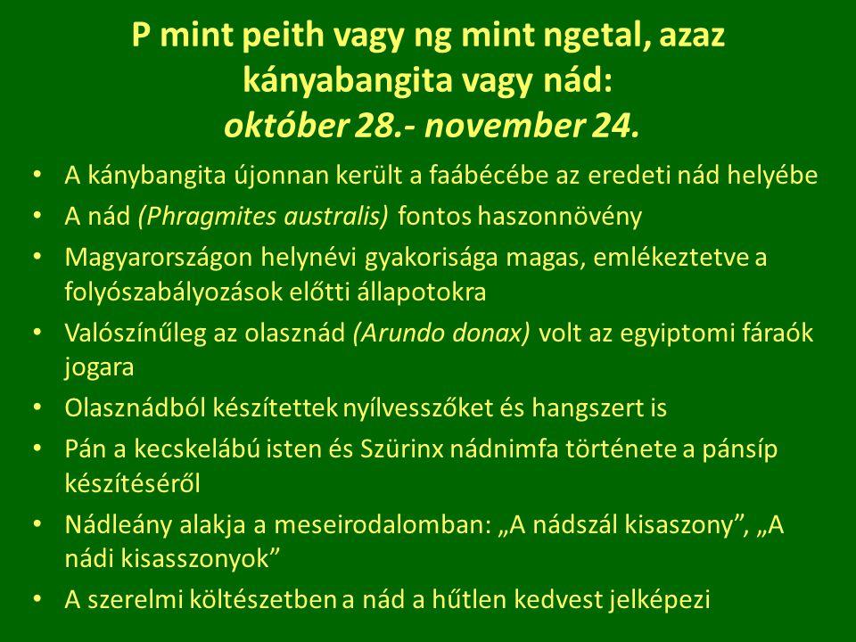 P mint peith vagy ng mint ngetal, azaz kányabangita vagy nád: október 28.- november 24. A kánybangita újonnan került a faábécébe az eredeti nád helyéb