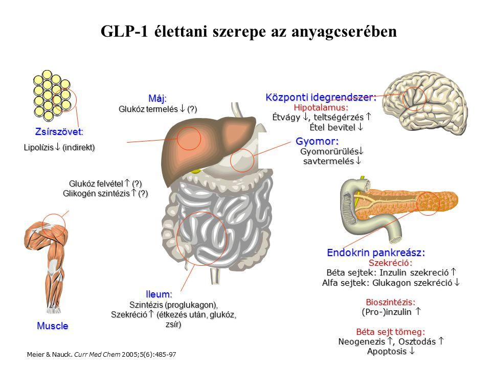 Központi idegrendszer: Hipotalamus: Étvágy , teltségérzés  Étel bevitel  Ileum: Szintézis (proglukagon), Szekréció  (étkezés után, glukóz, zsír) Endokrin pankreász: Szekréció: Béta sejtek: Inzulin szekreció  Alfa sejtek: Glukagon szekréció  Bioszintézis: (Pro-)inzulin  Béta sejt tömeg: Neogenezis , Osztodás  Apoptosis  Muscle Zsírszövet: Lipolízis  (indirekt) Glukóz felvétel  (?) Glikogén szintézis  (?) Máj: Glukóz termelés  (?) Gyomor: Gyomorürülés savtermelés  GLP-1 élettani szerepe az anyagcserében Meier & Nauck.