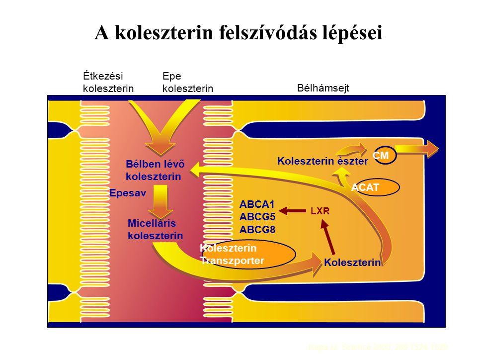 A koleszterin felszívódás lépései Étkezési koleszterin Epe koleszterin Bélben lévő koleszterin Epesav Micelláris koleszterin Koleszterin Koleszterin észter ACAT CM Koleszterin Transzporter Bélhámsejt LXR ABCA1 ABCG5 ABCG8 Repa JJ: Science 2000; 289:1524-1529