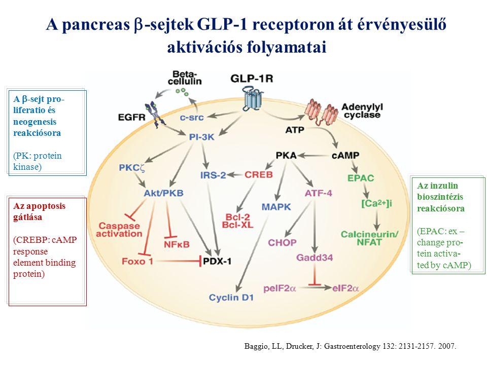 A pancreas  -sejtek GLP-1 receptoron át érvényesülő aktivációs folyamatai Az inzulin bioszintézis reakciósora (EPAC: ex – change pro- tein activa- ted by cAMP) A  -sejt pro- liferatio és neogenesis reakciósora (PK: protein kinase) Az apoptosis gátlása (CREBP: cAMP response element binding protein) Baggio, LL, Drucker, J: Gastroenterology 132: 2131-2157.