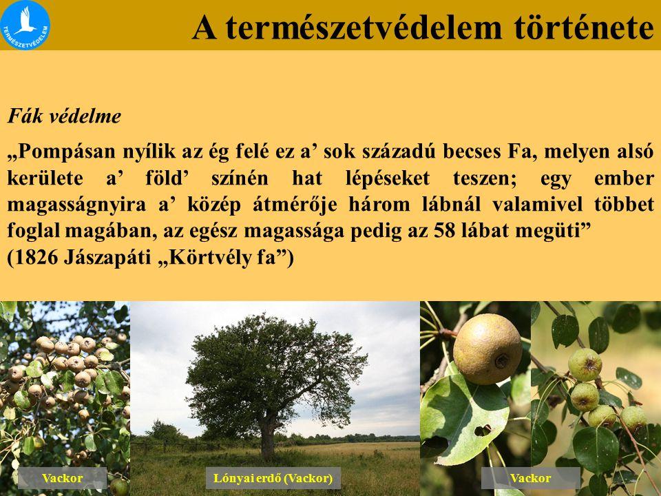 """A természetvédelem története Fák védelme """"Pompásan nyílik az ég felé ez a' sok századú becses Fa, melyen alsó kerülete a' föld' színén hat lépéseket teszen; egy ember magasságnyira a' közép átmérője három lábnál valamivel többet foglal magában, az egész magassága pedig az 58 lábat megüti (1826 Jászapáti """"Körtvély fa ) Lónyai erdő (Vackor) Vackor"""