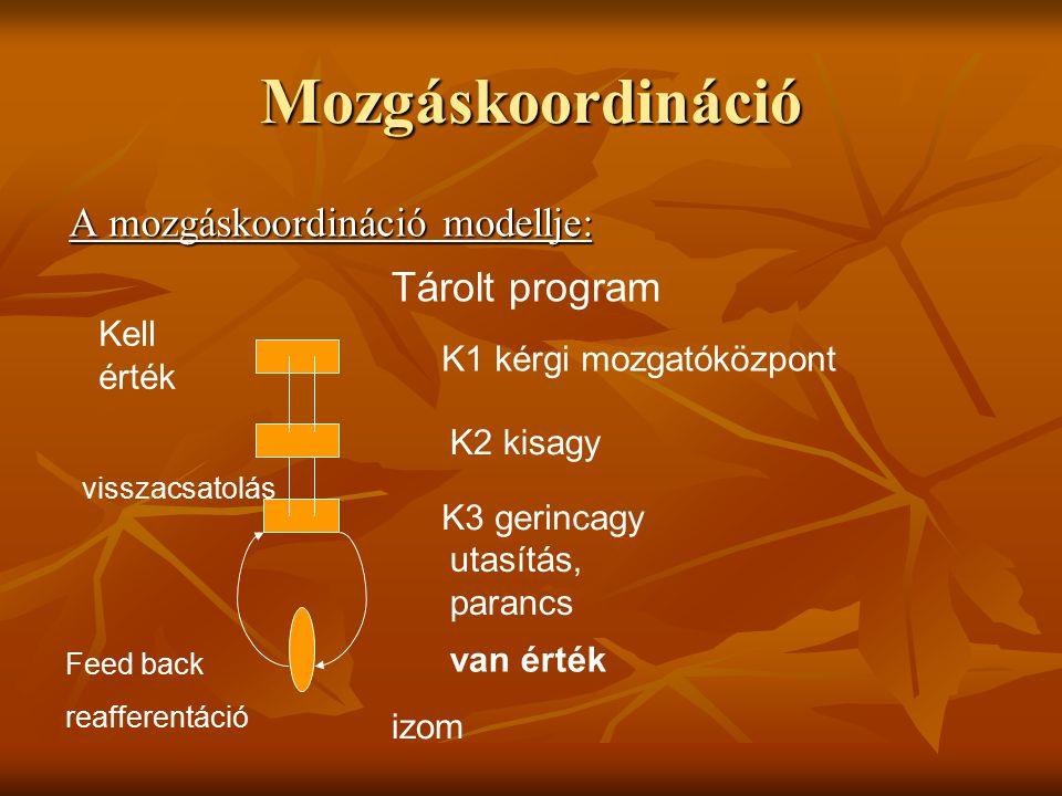 Mozgáskoordináció A mozgáskoordináció modellje: Tárolt program Kell érték visszacsatolás Feed back reafferentáció izom van érték utasítás, parancs K3