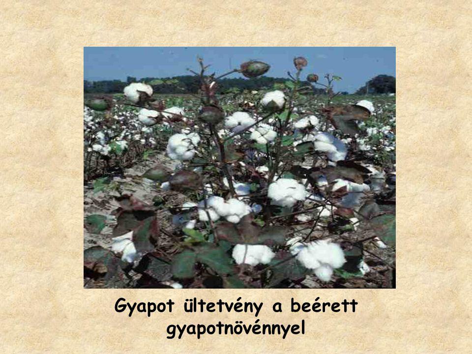 Gyapot ültetvény a beérett gyapotnövénnyel