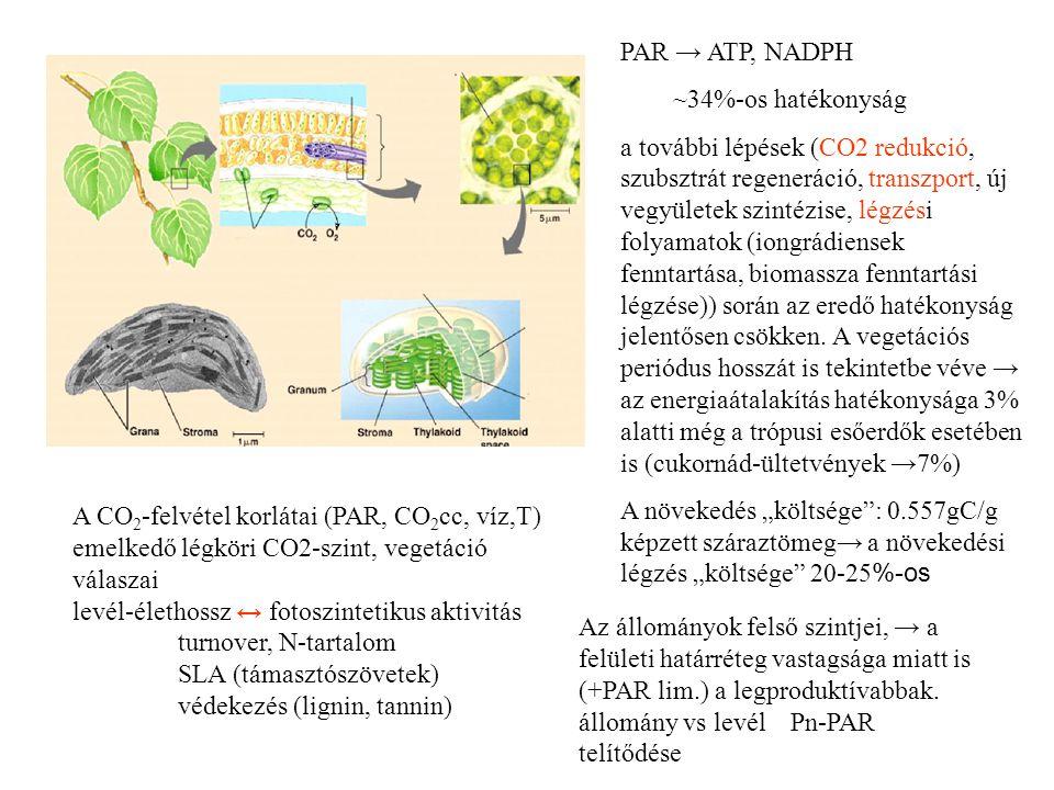 Produkció= termelés-fogyasztás~fotoszintézis-légzés Légzés, respiráció mitokondriális légzés →oxidatív foszforiláció ~ a glükóz elégetése révén nyer ATP-t a fenntartási, a növekedési légzéshez, továbbá az ionfelvételhez (aktív) →floem transzport, tápanyagok aktív transzporttal való felvétele fenntartási: - lipid- és fehérje-turnoverek (kicserélődés) energiaigénye növekedési: - az egyes vegyületek előállításához szükséges energia ionfelvétel: - grádienssel szemben működő ionpumpák energiaigénye A növekedés költségei (légzési veszteség C-ben): Cukrok, poliszacharidok, nukleinsavak: 400-500 mg C Fehérjék: 650 mg C Lignin: 930 mg C Lipidek 1200 mg C (már megkötött C) kell 1 g létrehozásához Átlag: 557 mg C légzési veszteség mellett történik 1 g fitomassza produkciója.