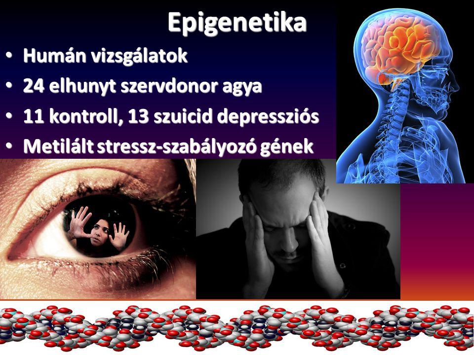 Epigenetika Humán vizsgálatok Humán vizsgálatok 24 elhunyt szervdonor agya 24 elhunyt szervdonor agya 11 kontroll, 13 szuicid depressziós 11 kontroll,