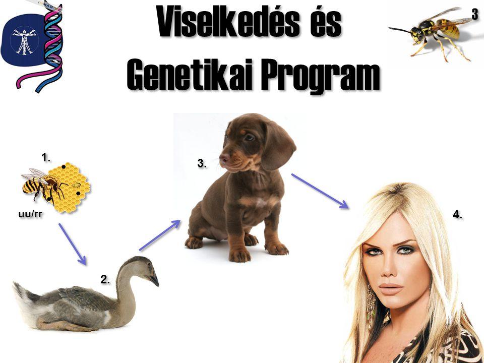 Viselkedés és Genetikai Program Viselkedés és Genetikai Program 1. 2. 3. 4. uu/rr 3 3