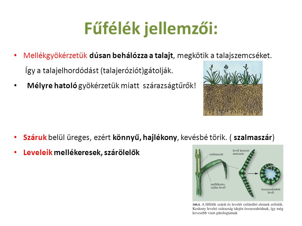 Fűfélék jellemzői: Mellékgyökérzetük dúsan behálózza a talajt, megkötik a talajszemcséket.