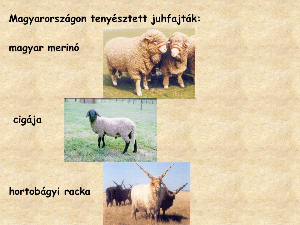 Magyarországon tenyésztett juhfajták: magyar merinó cigája hortobágyi racka