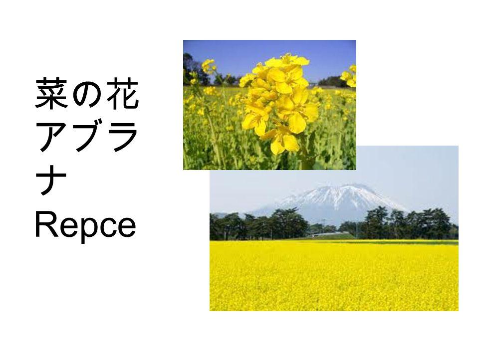 菜の花 アブラ ナ Repce