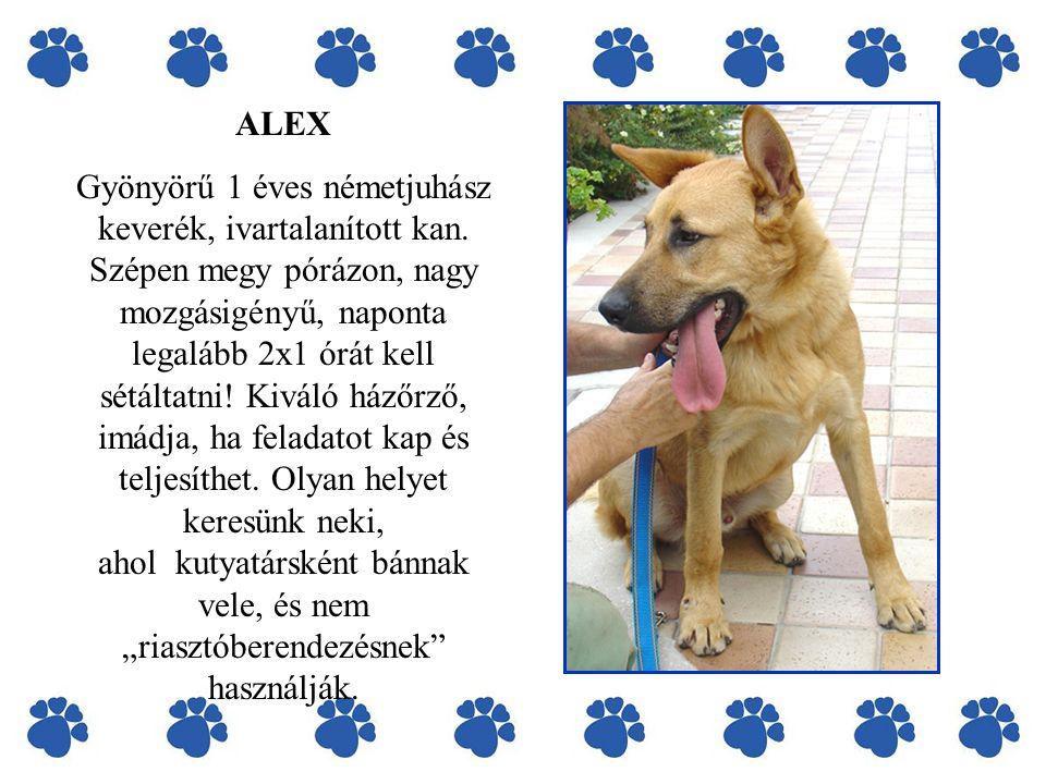 ALEX Gyönyörű 1 éves németjuhász keverék, ivartalanított kan.