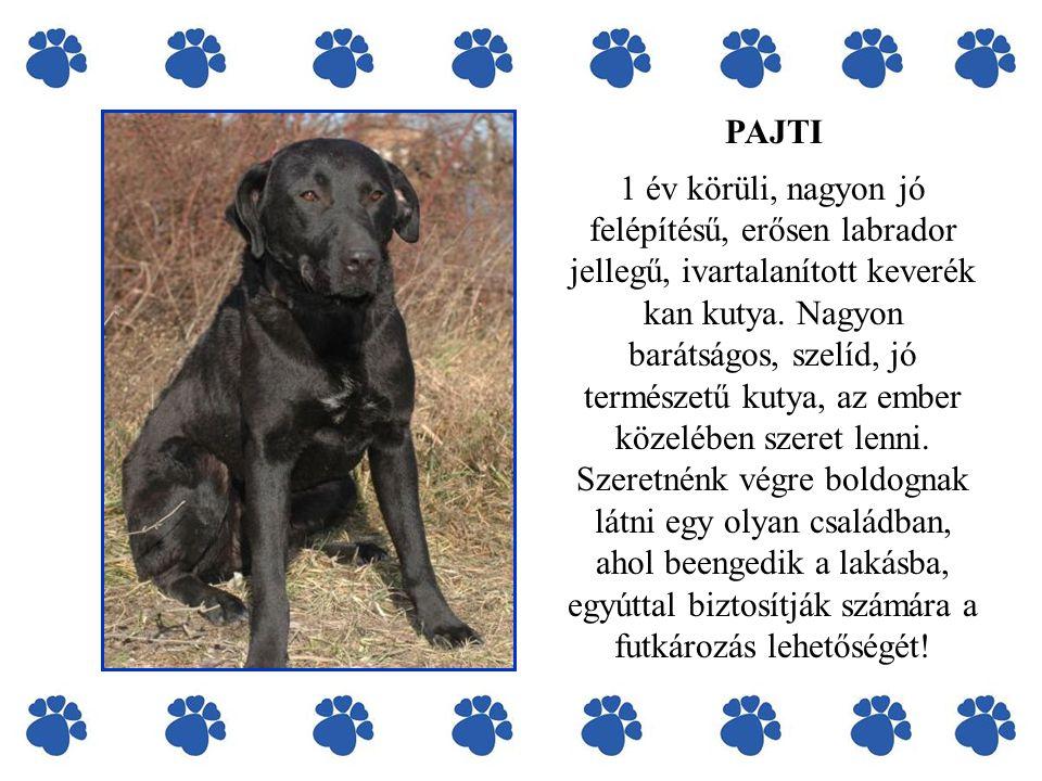 PAJTI 1 év körüli, nagyon jó felépítésű, erősen labrador jellegű, ivartalanított keverék kan kutya.