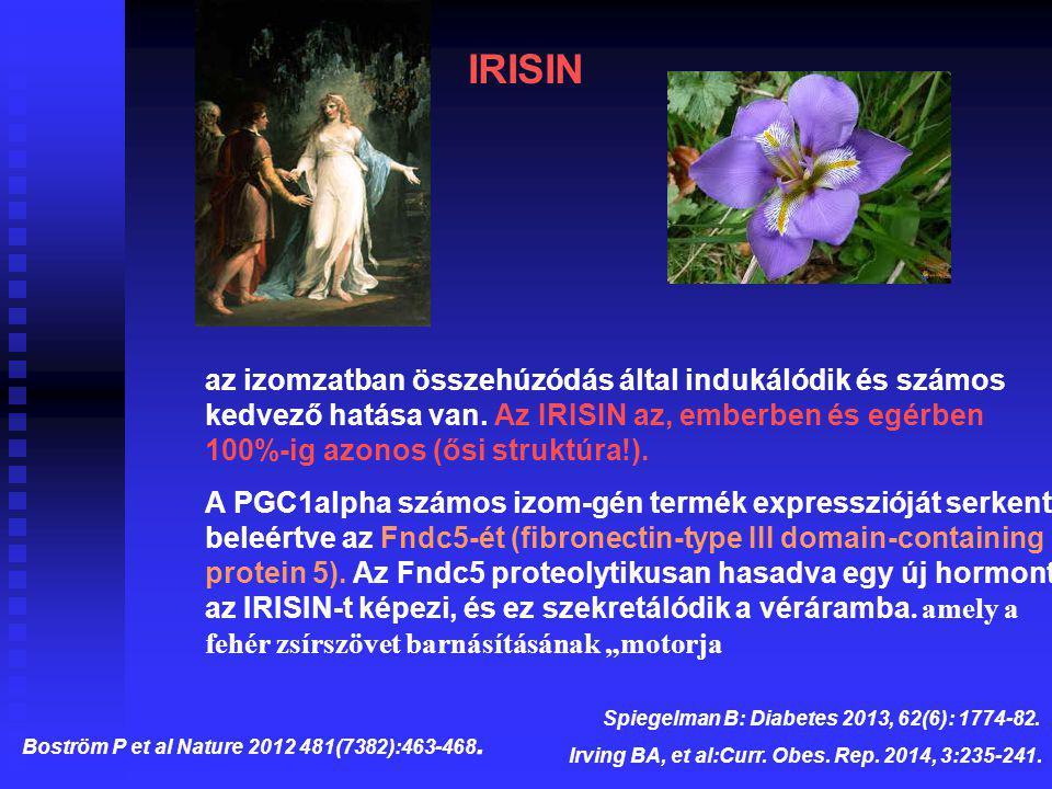 az izomzatban összehúzódás által indukálódik és számos kedvező hatása van. Az IRISIN az, emberben és egérben 100%-ig azonos (ősi struktúra!). A PGC1al