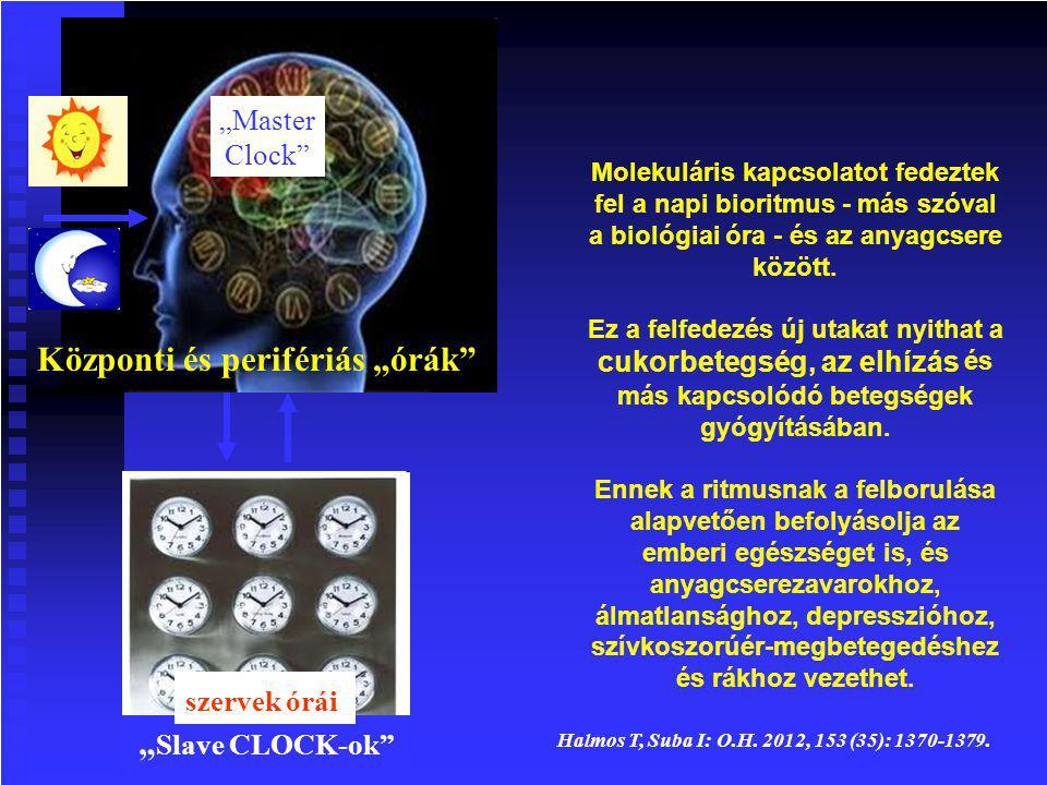 Molekuláris kapcsolatot fedeztek fel a napi bioritmus - más szóval a biológiai óra - és az anyagcsere között.