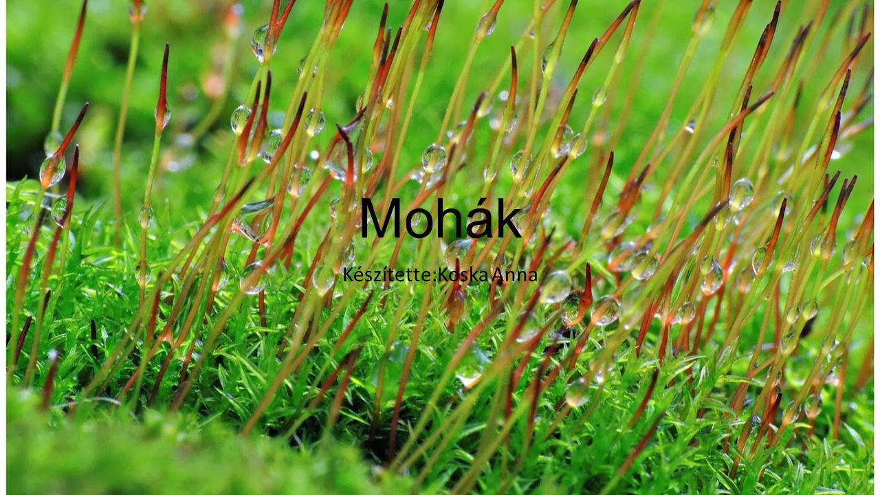 A mohák az egész Földön elterjedt növények.Mintegy 26 000 fajuk ismert.