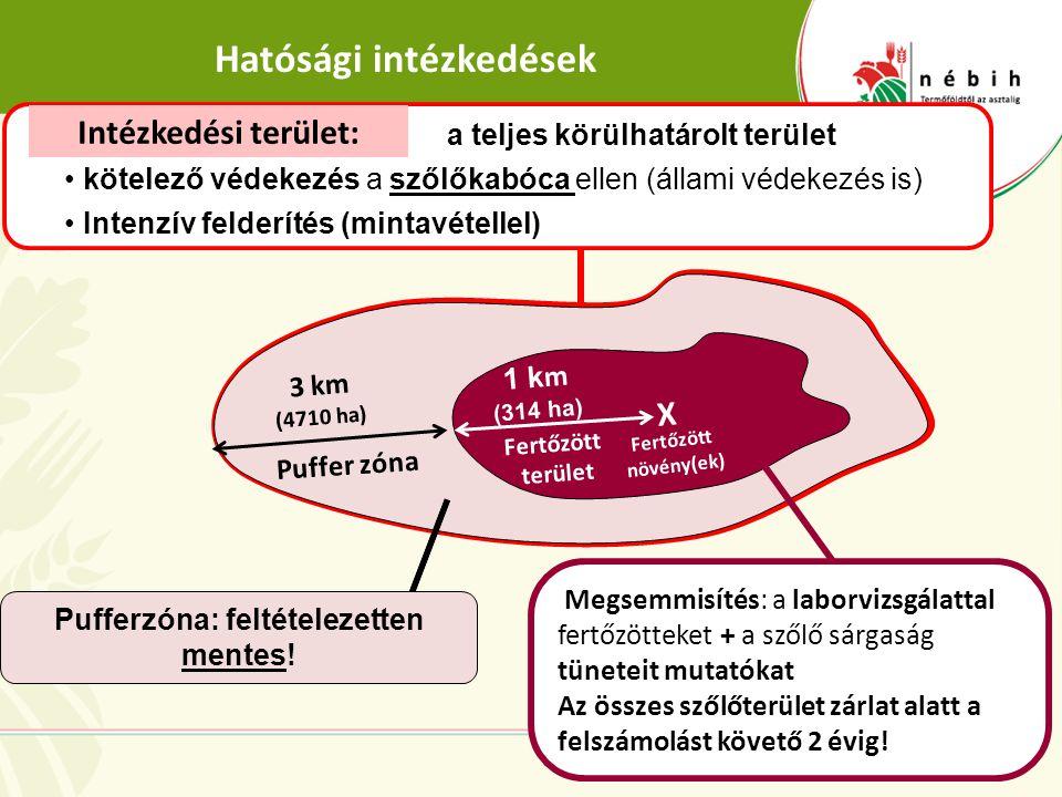Hatósági intézkedések 7 Fertőzött terület Puffer zóna 3 km (4710 ha) 1 k m (314 ha) Megsemmisítés: a laborvizsgálattal fertőzötteket + a szőlő sárgasá