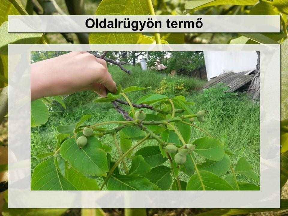 Kórtani problémák a hibrid fajtáknál Xanthomonas arboricola pv.