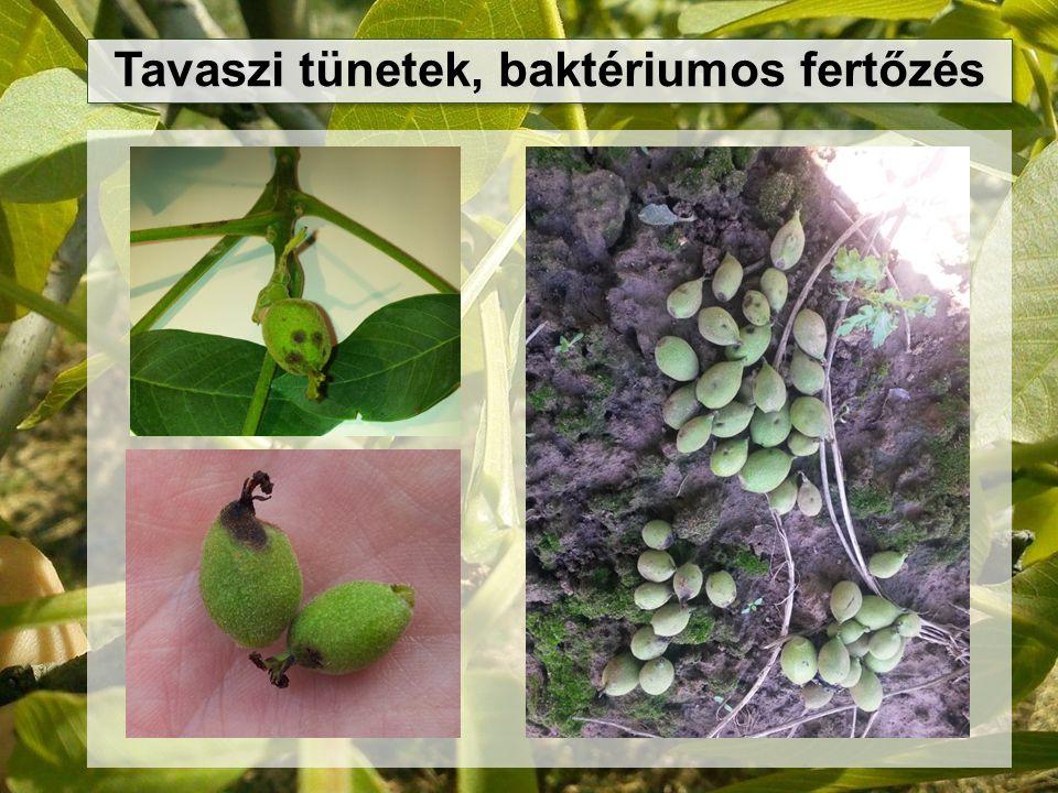 Tavaszi tünetek, baktériumos fertőzés