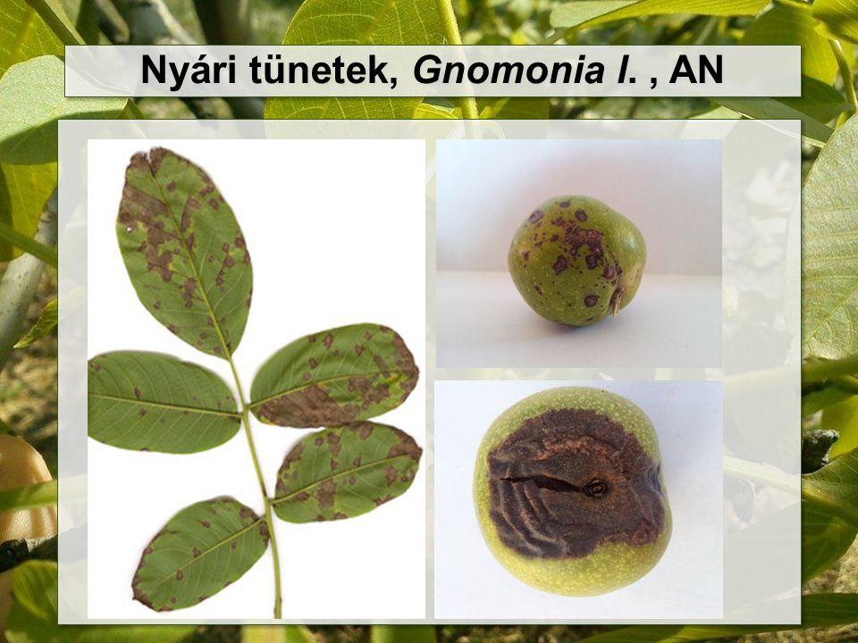 Nyári tünetek, Gnomonia l., AN