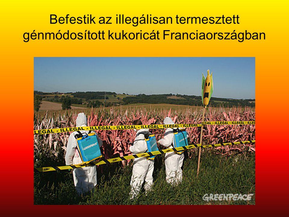 Befestik az illegálisan termesztett génmódosított kukoricát Franciaországban
