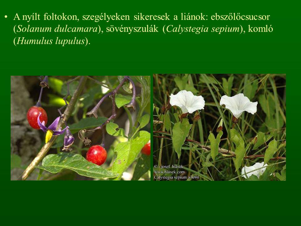 A nyílt foltokon, szegélyeken sikeresek a liánok: ebszőlőcsucsor (Solanum dulcamara), sövényszulák (Calystegia sepium), komló (Humulus lupulus).