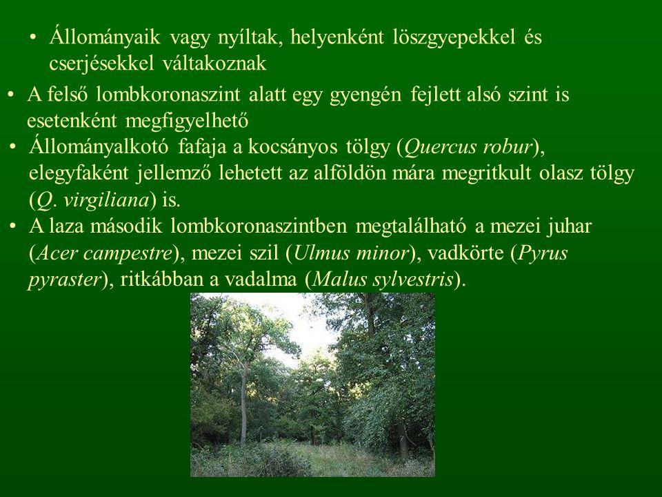 Állományaik vagy nyíltak, helyenként löszgyepekkel és cserjésekkel váltakoznak A felső lombkoronaszint alatt egy gyengén fejlett alsó szint is esetenként megfigyelhető Állományalkotó fafaja a kocsányos tölgy (Quercus robur), elegyfaként jellemző lehetett az alföldön mára megritkult olasz tölgy (Q.